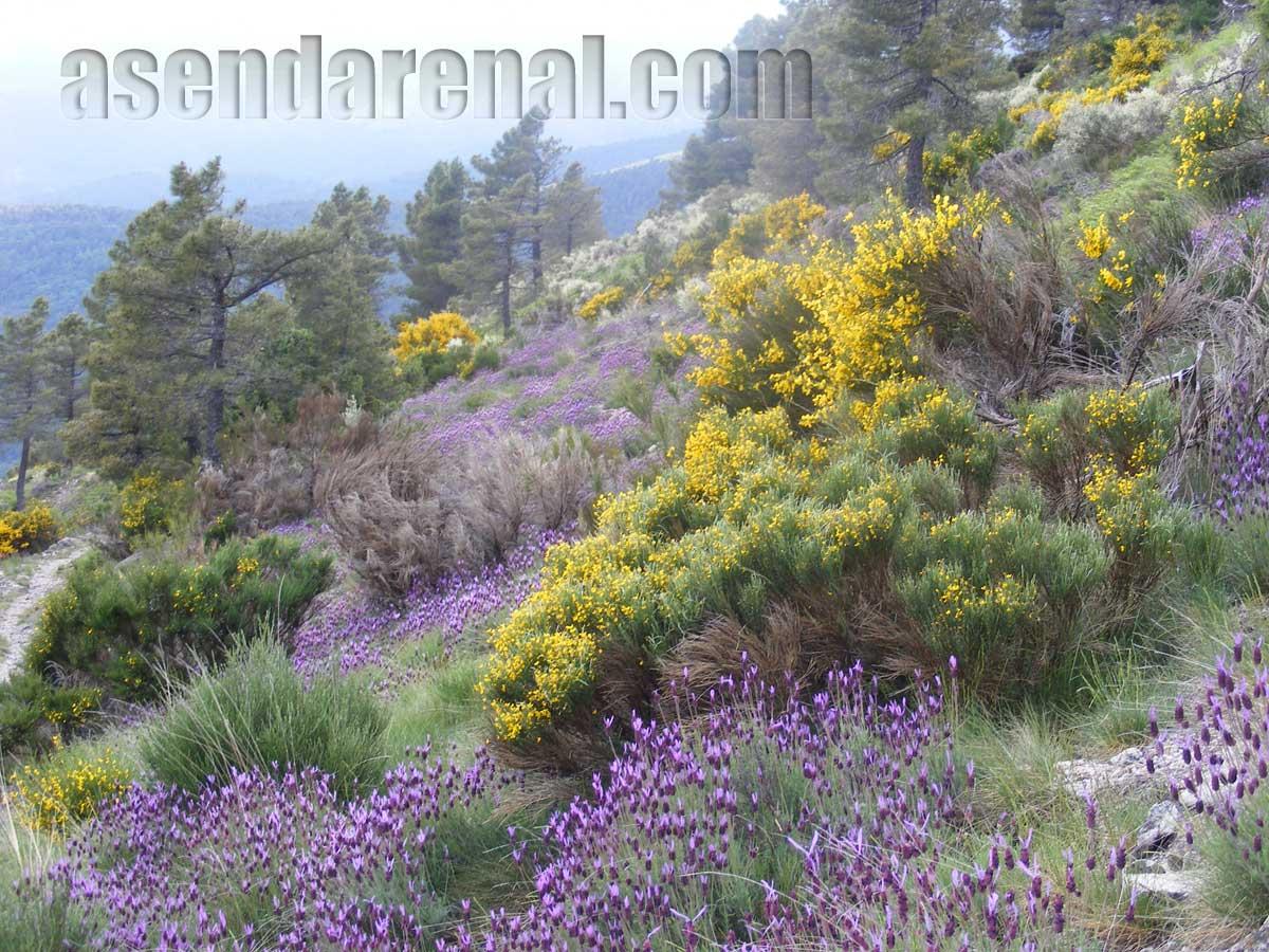 Piornos y cantueso en flor. (Foto J. L.)
