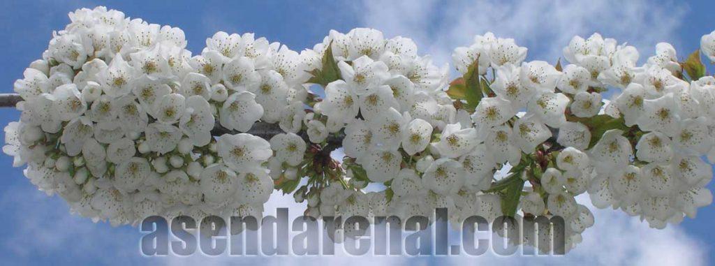 Flor del cerezo. (Foto J.L.)